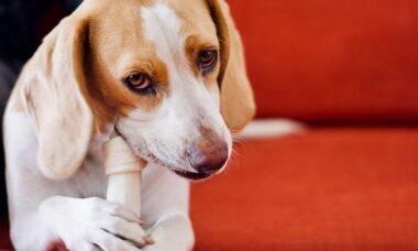 Por que os cães enterram ossos? A ciência explica