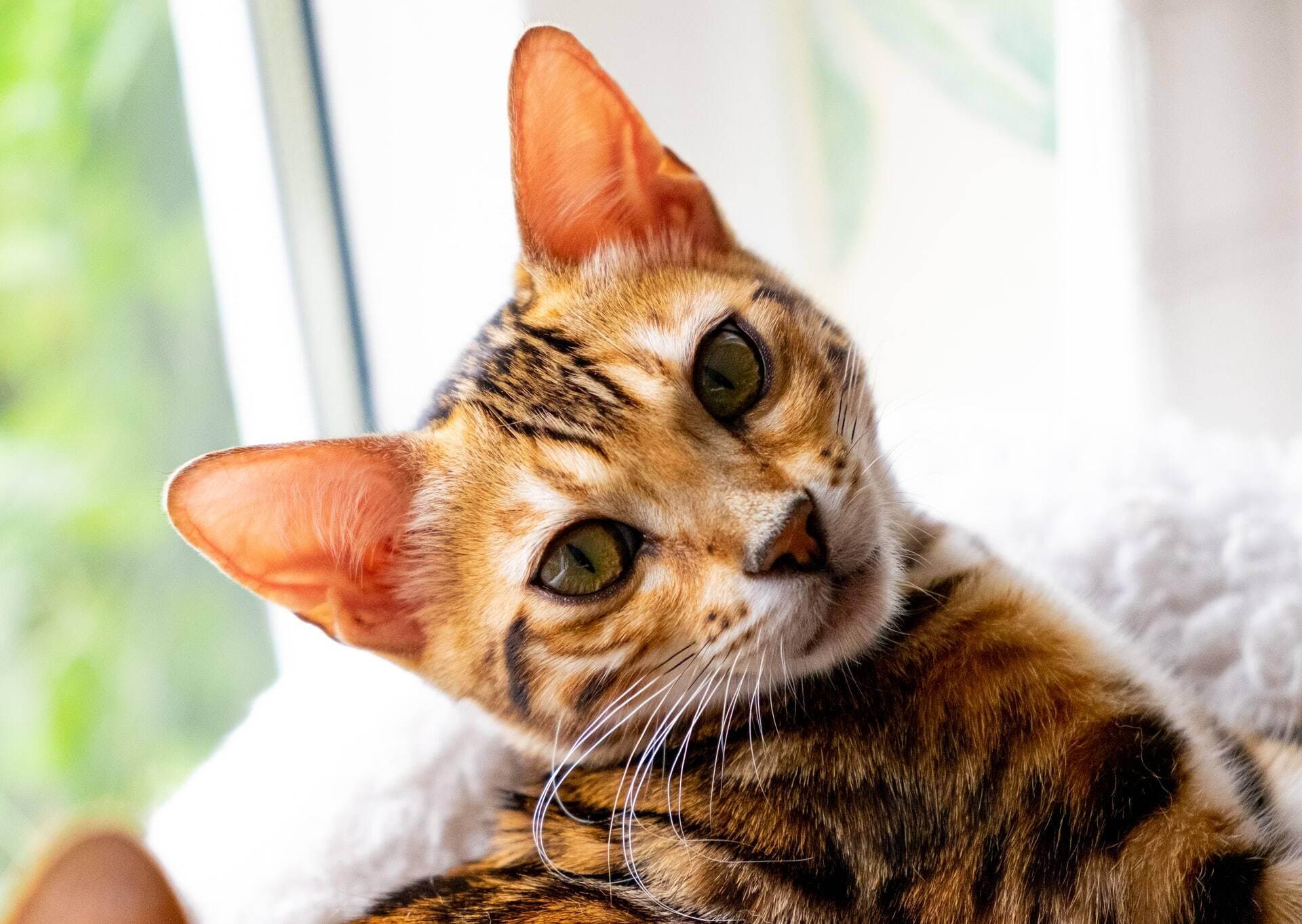Saiba qual é a melhor raça de gato para conviver com uma pessoa do seu signo