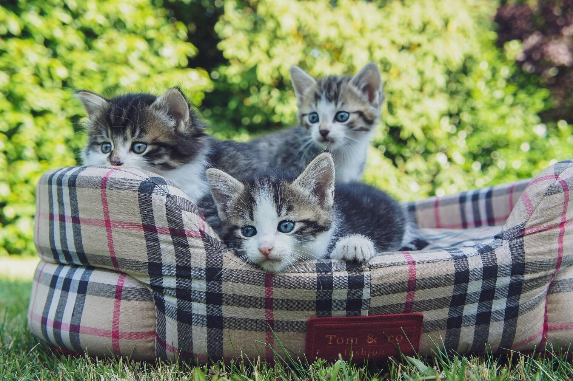 Gatos da mesma ninhada podem ter pais diferentes; entenda
