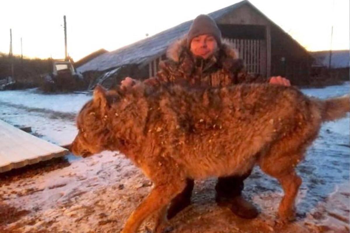 Vídeo: Revoltado com a morte de cães, fazendeiro abate lobo com as mãos