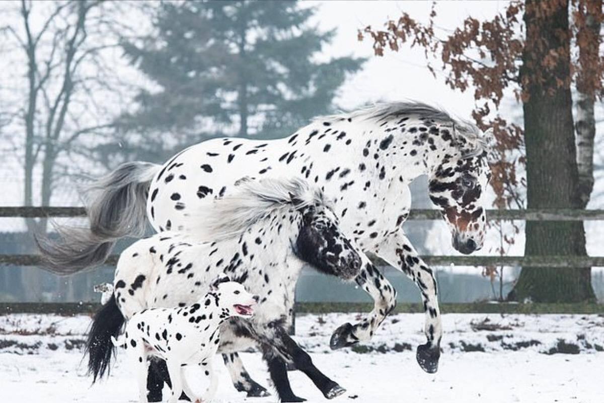 Unidos pelas pintas: dálmata, pônei e cavalo são melhores amigos