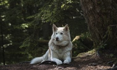 De carnívoro competidor a melhor amigo: ciência explica relação entre homens, lobos e cães
