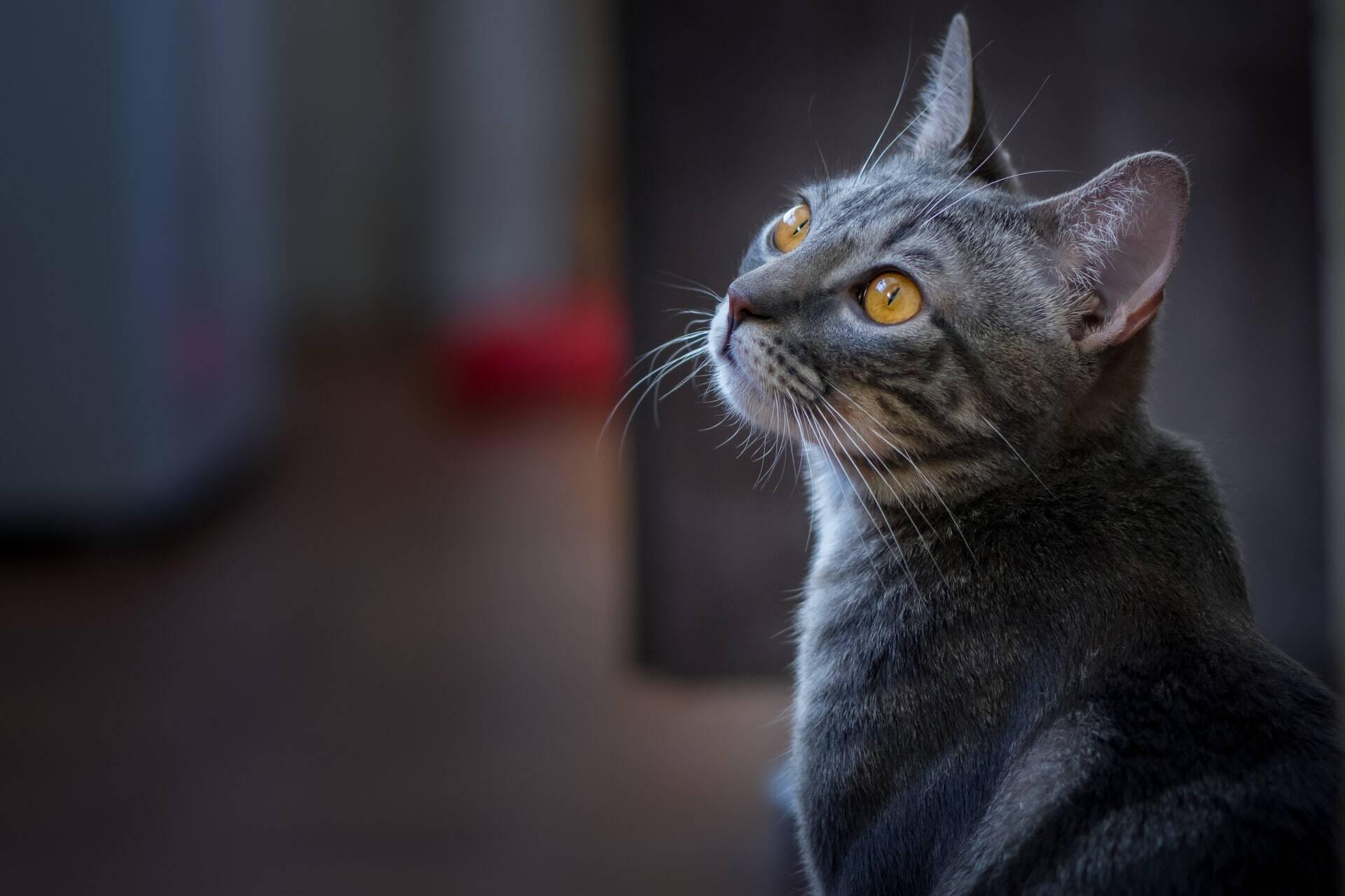 Seu gato está miando demais? Saiba o que fazer