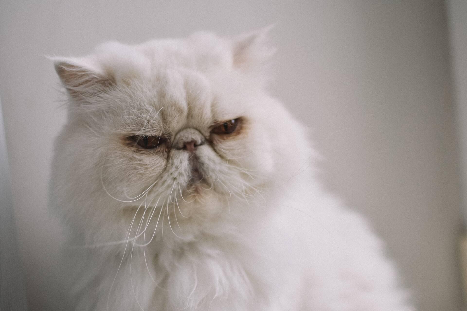 Ação humana deixou alguns gatos com uma careta que os impede de expressar emoções, diz estudo