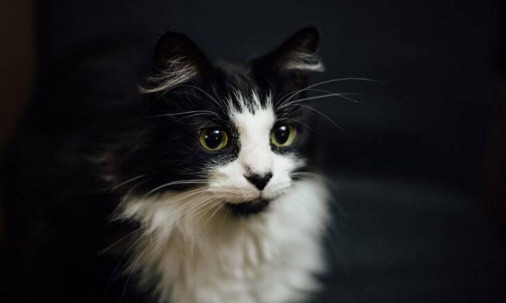 Você deve castrar seu gato antes da puberdade; saiba por quê