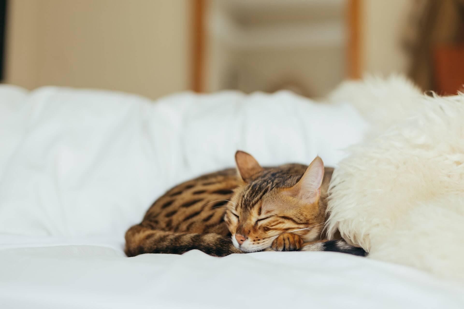 Entenda por que o seu gato dorme tanto