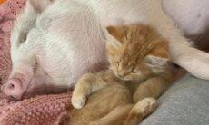 Gato e porquinho viram melhores amigos quando passaram a viver na mesma casa