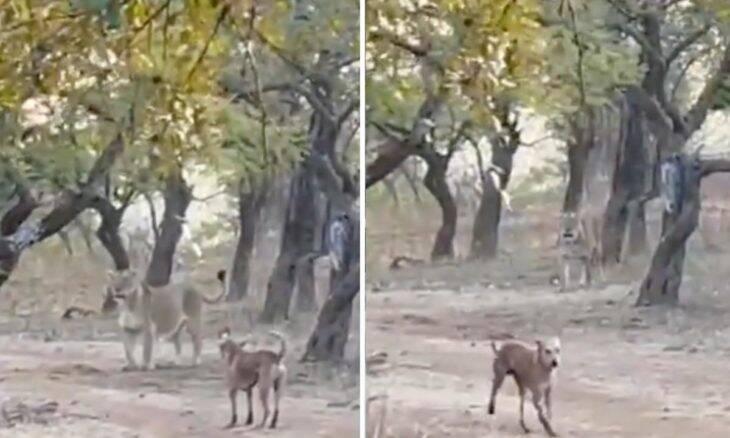 Vídeo: Cão enfrenta leoa, vence a briga e viraliza na internet