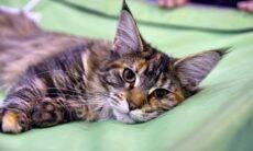 Mais 'humana' das raças felinas, maine coon conquista corações