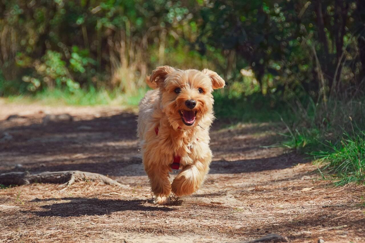Saiba quando e como dar o primeiro passeio com um filhote de cachorro