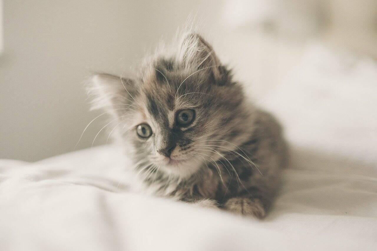 Entenda por que é fundamental castrar seu gato antes dos 4 meses de vida