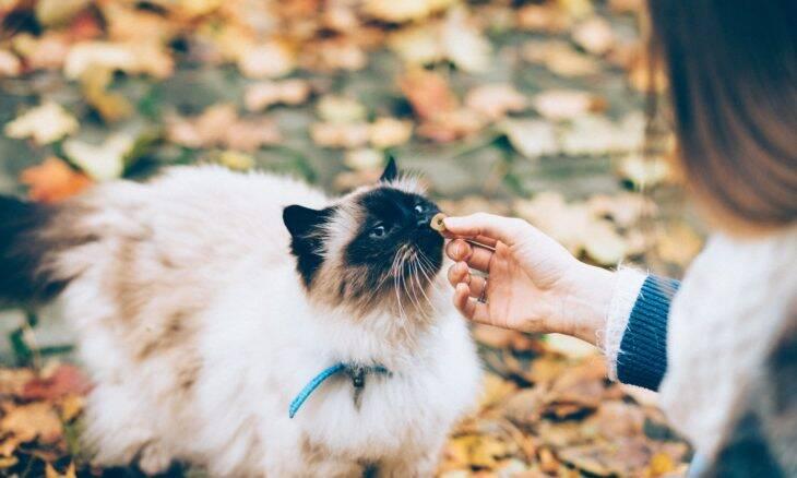 Saiba como treinar o seu gato; acredite, é possível!