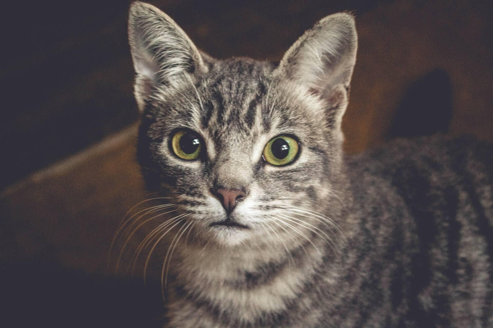 Antes de se apavorar com a perda de bigode do seu gato, veja o que dizem os veterinários