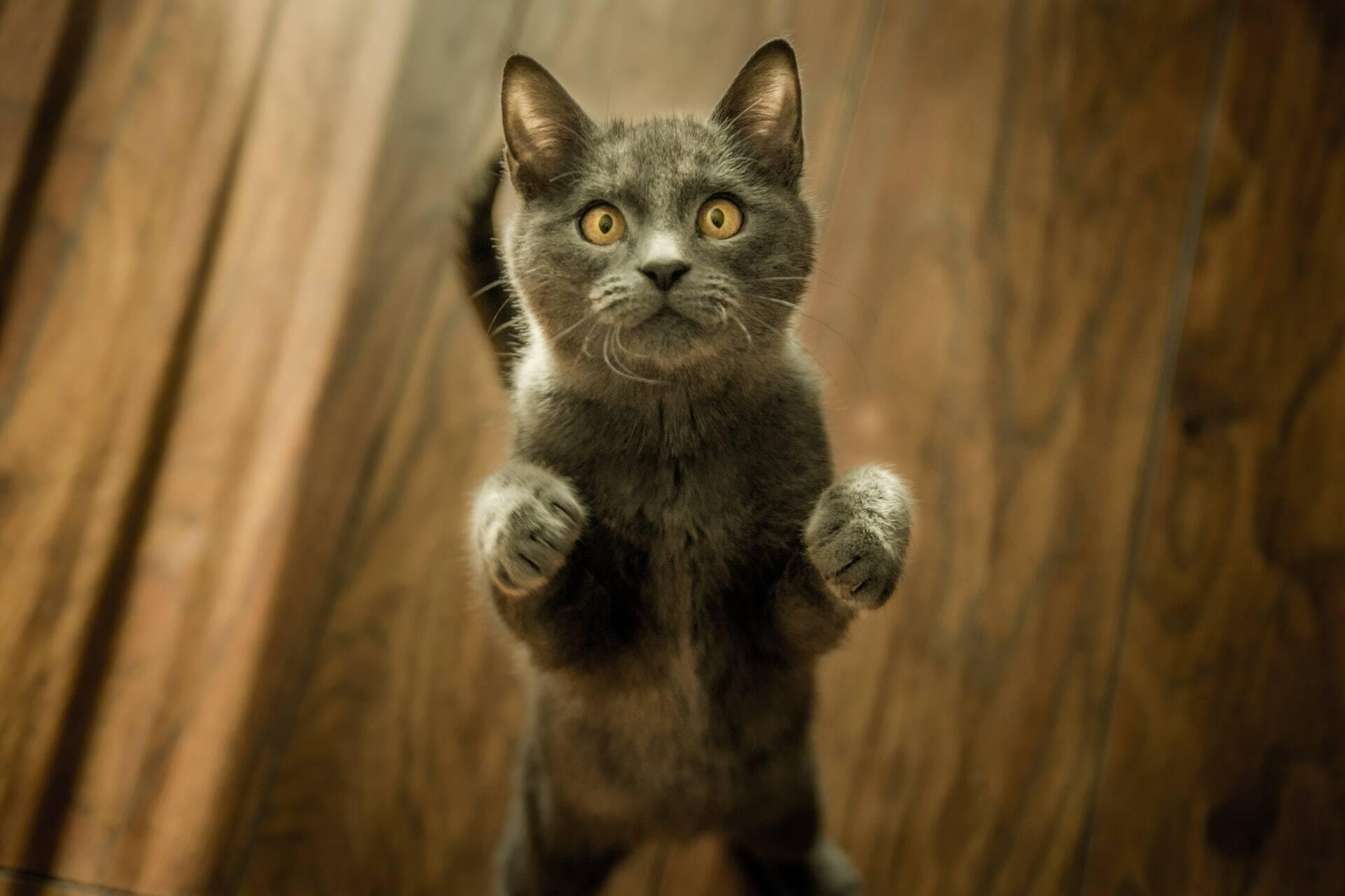 Especialista decifra 8 comportamentos estranhos dos gatos