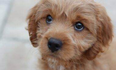Devido à pandemia, Reino Unido vive explosão de furtos de cães
