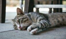 Os gatos se sentem solitários sem outros felinos por perto?