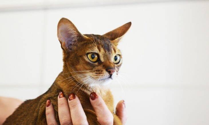 Conheça as 11 raças de gatos mais inteligentes