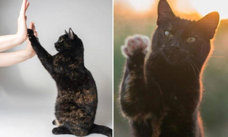 Gato mais inteligente do mundo faz 26 truques em um minuto e entra para o Guinness