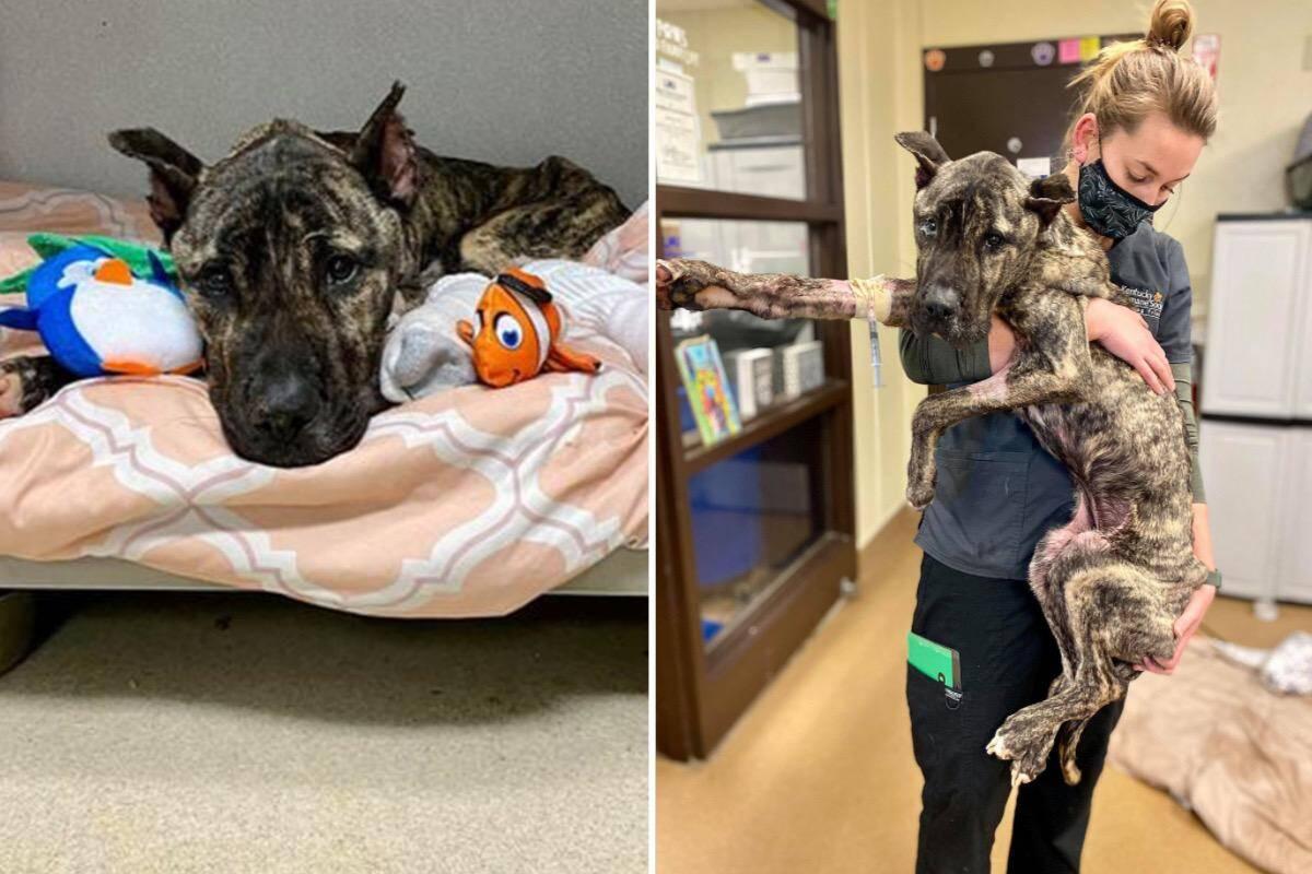 Abandonado para morrer, cão é resgatado e luta bravamente pela vida