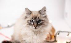 Por que os gatos ficam tão enlouquecidos com luz de laser? A ciência tenta responder