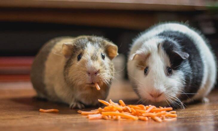 Websérie ensina a criar porquinhos-da-índia, camundongos e outros pequenos roedores