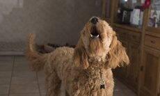 Saiba como fazer seu cão parar de latir sem dar petiscos como recompensa