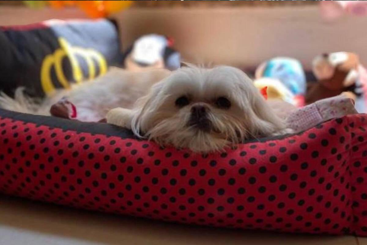 Cachorrinha desenganada 'renasce' ao receber terapia com células-tronco