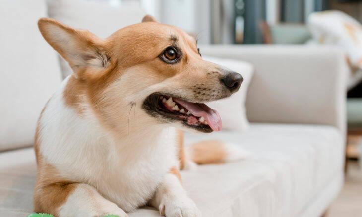 Brinquedos e petiscos podem colocar em risco os dentes do seu cão