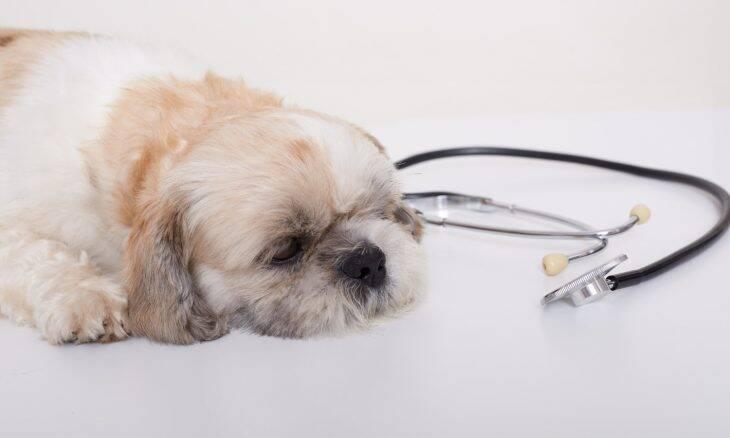 Emergência médica: Tudo o que você precisa saber sobre primeiros socorros para cães