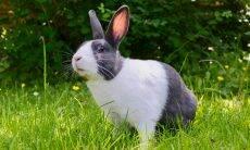 Alguns coelhos andam sobre as patas dianteiras; a ciência encontra a razão