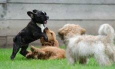 Aprenda a diferenciar quando o seu cão está brincando ou brigando