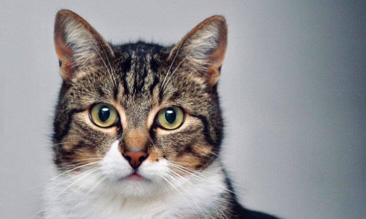 Gatos não são egoístas, só um pouco confusos, dizem cientistas