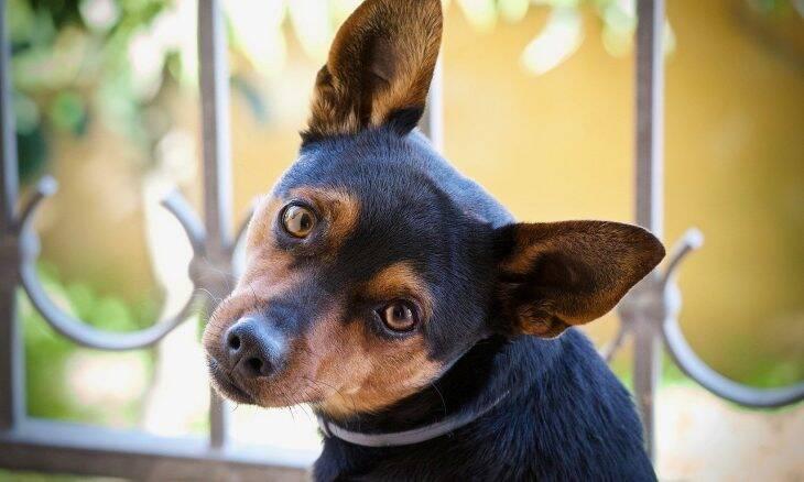 Tudo o que você precisa saber para o que o seu cão não sofra com a otite