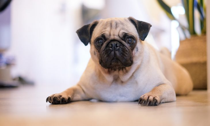 Cães como pugs e buldogues franceses correm risco de cegueira; saiba por quê