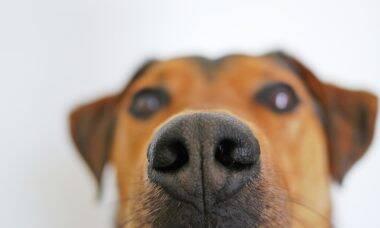 Cães detectam câncer de próstata na urina humana, demonstra estudo