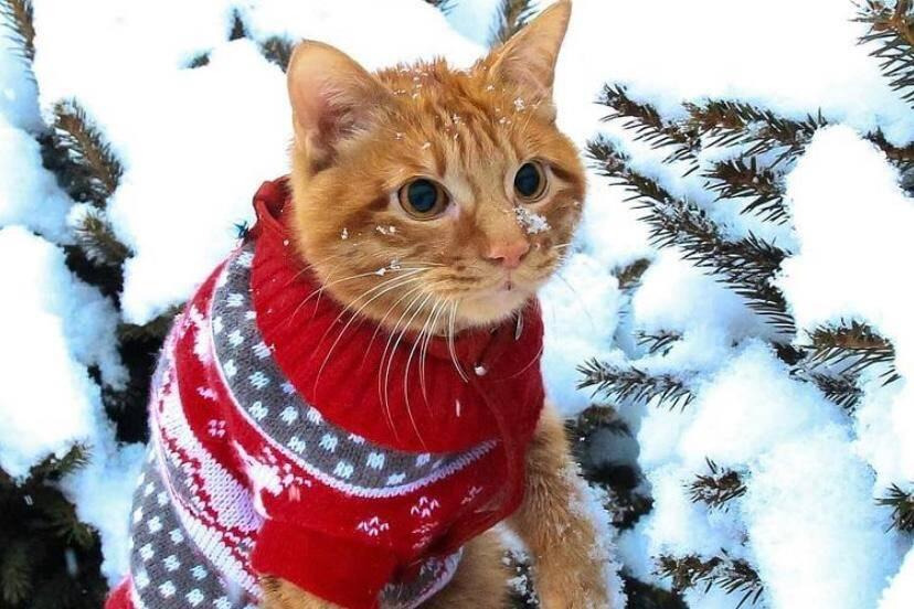Conheça Simba, o gato russo que é a nova estrela do Instagram