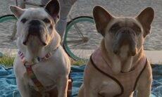 Após sequestro violento, cães de Lady Gaga voltam ilesos pra casa