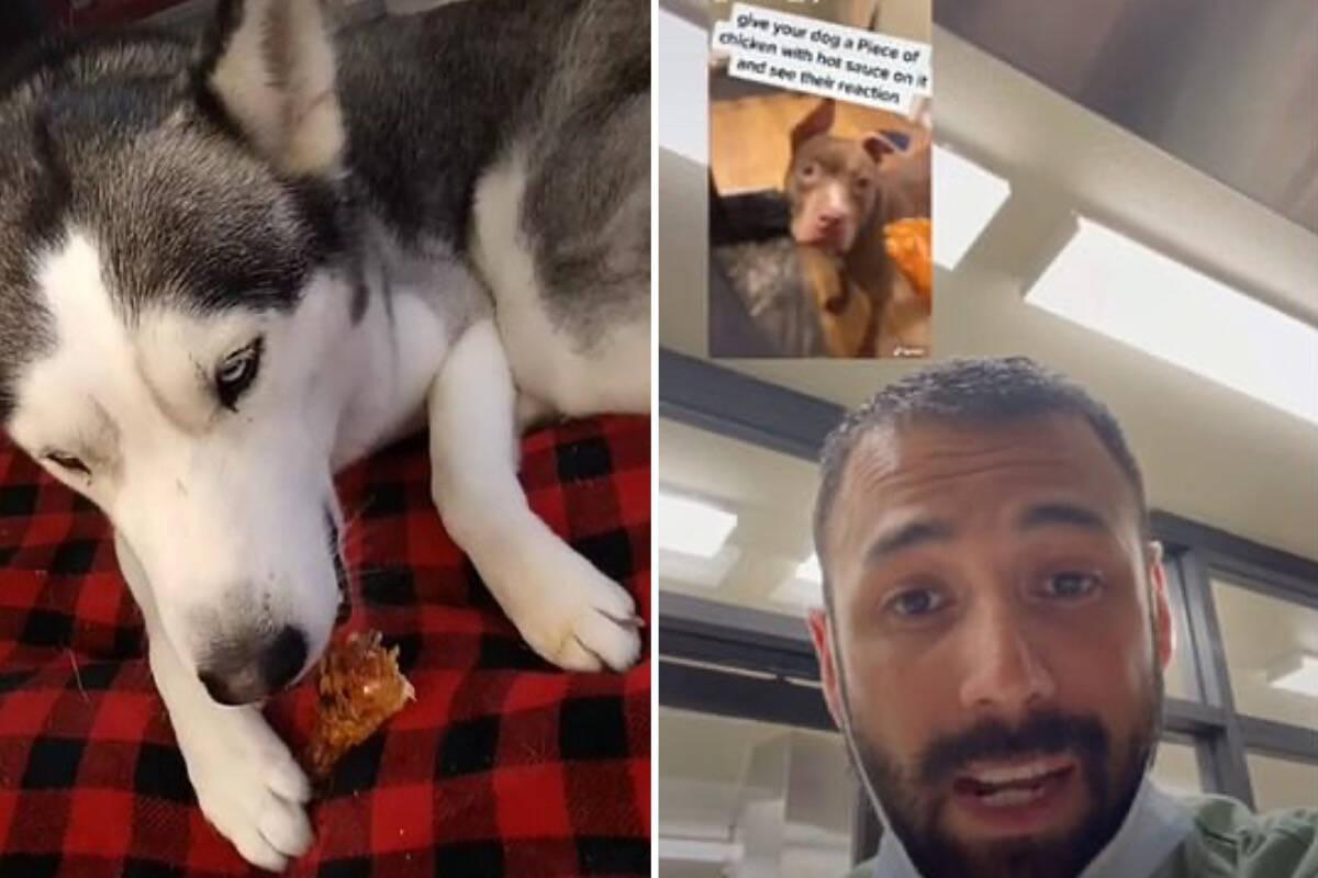 Donos dão molhos apimentados para seus cães, postam vídeos e enfurecem veterinários