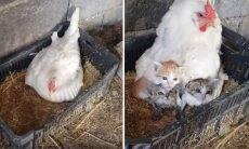 Vídeo emocionante: Galinha adota ninhada de gatinhos órfãos