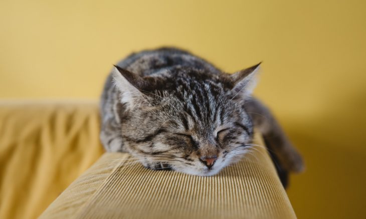 Os gatos sonham? Cientistas dizem que é muito provável