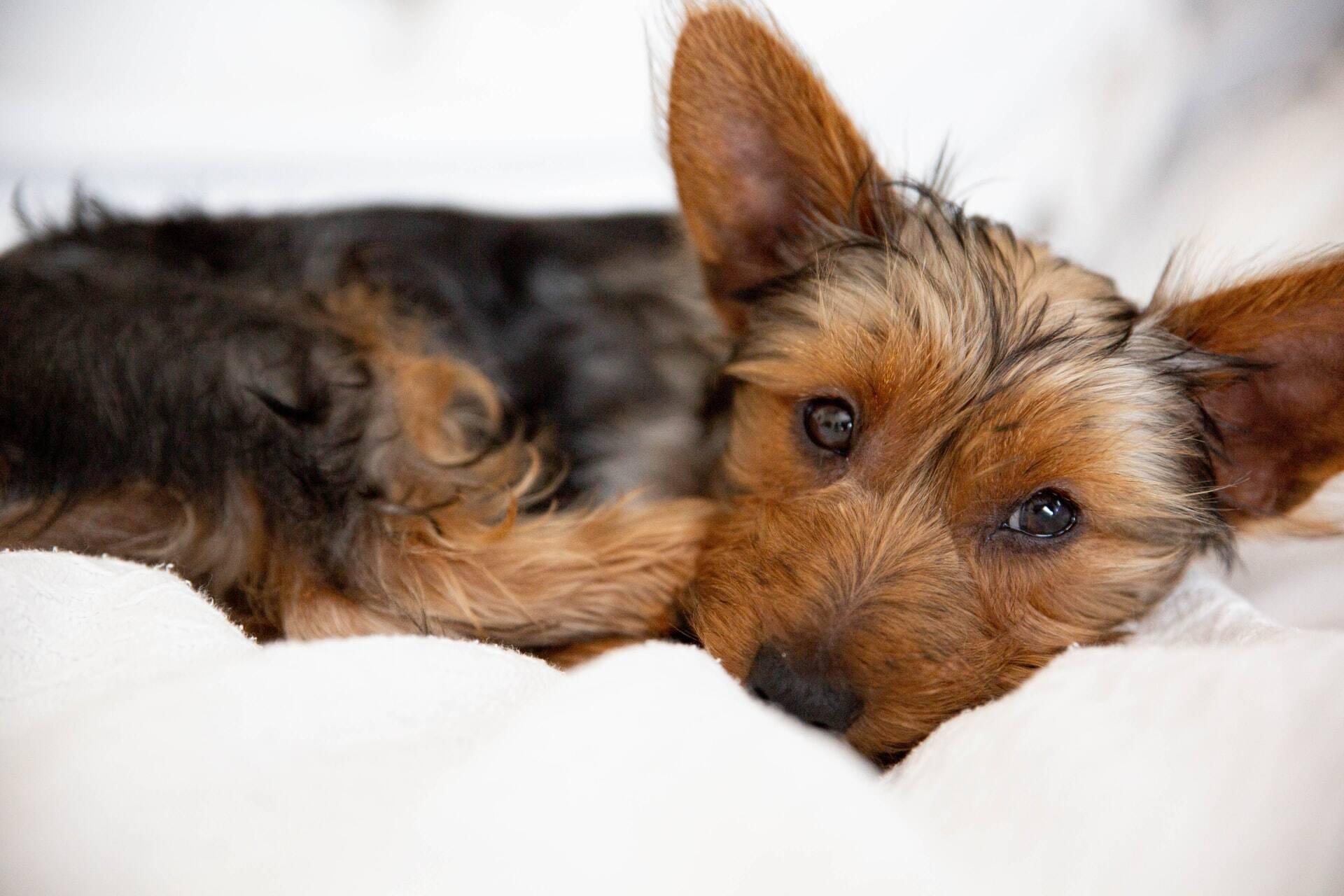 Seu cão tem vomitado? Veja as possíveis razões e saiba o que fazer