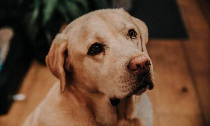 Top 10: Labradores ainda são os preferidos, mas os buldogues franceses estão conquistando a América