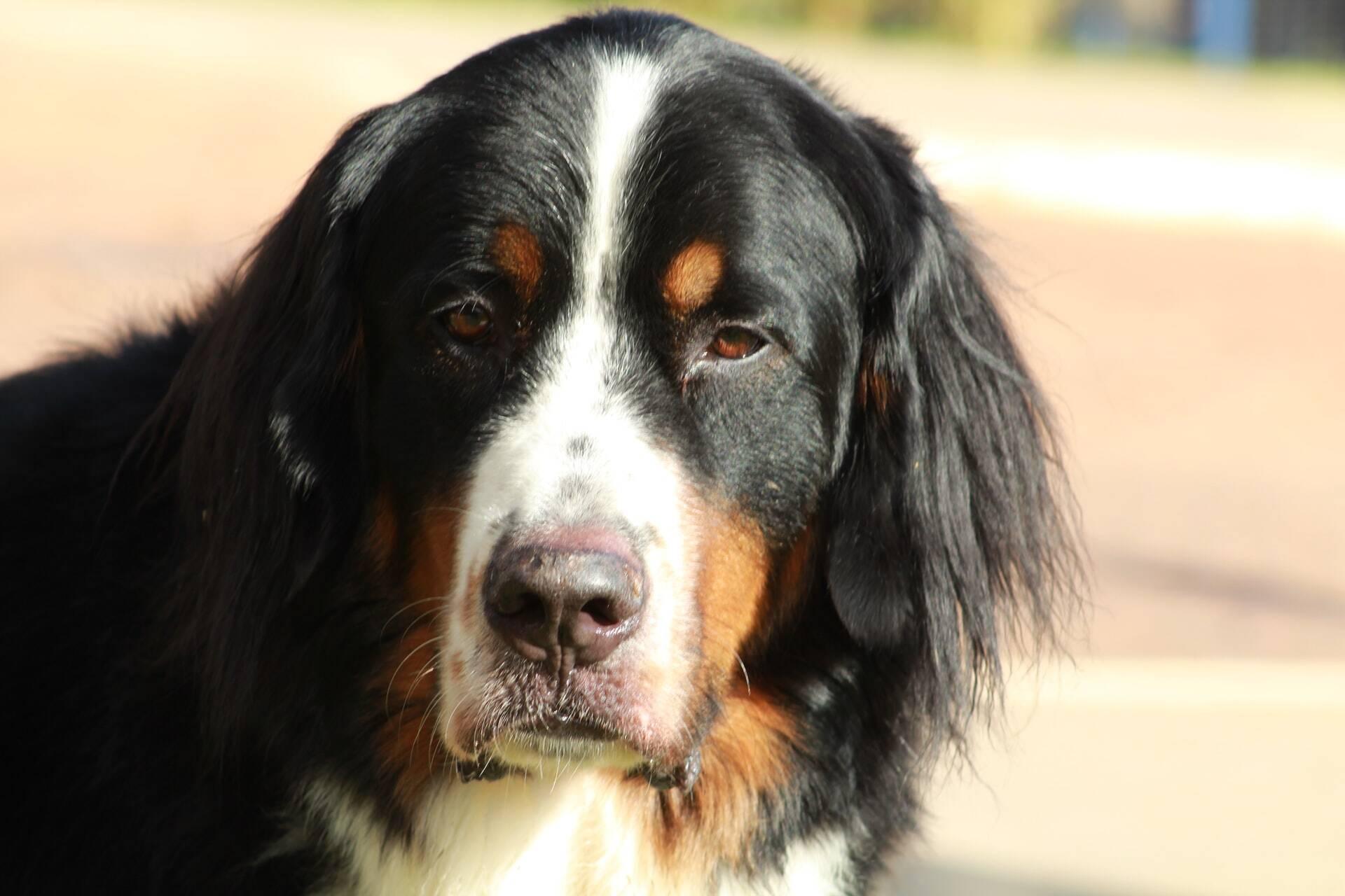 Mutações genéticas aumentam chances de câncer em 3 raças de cães; saiba quais