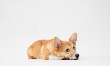 As 12 melhores raças para quem quer seu primeiro cão e quais devem ser evitadas