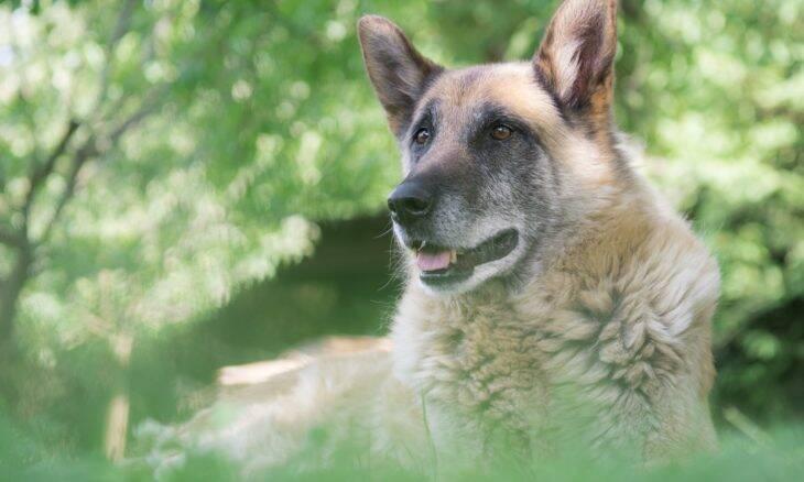 Cães nunca são velhos demais para serem treinados; saiba como ensinar novos truques ao seu
