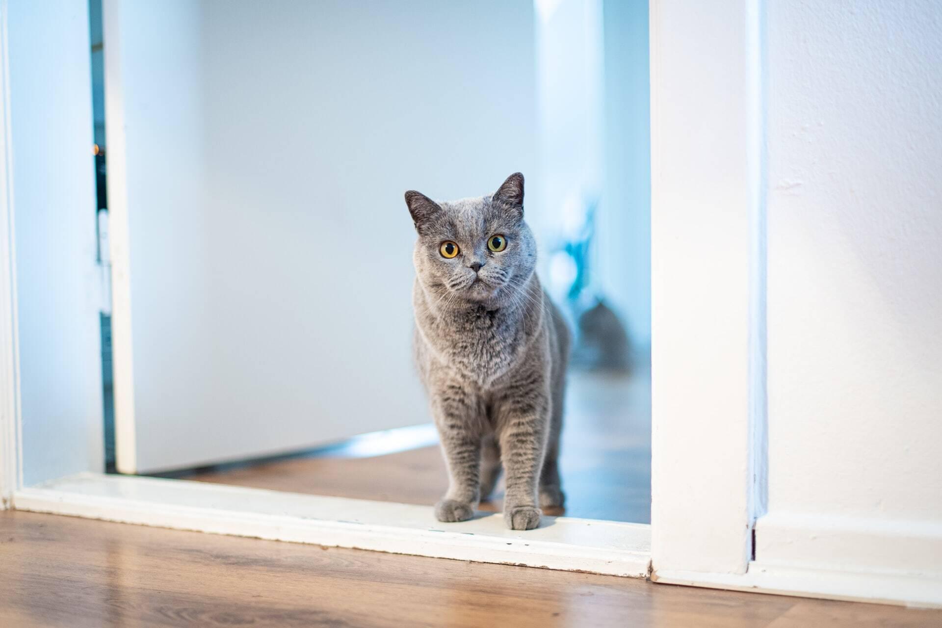 Seu gato fica na porta do banheiro esperando você sair? Saiba por que ele tem esse hábito