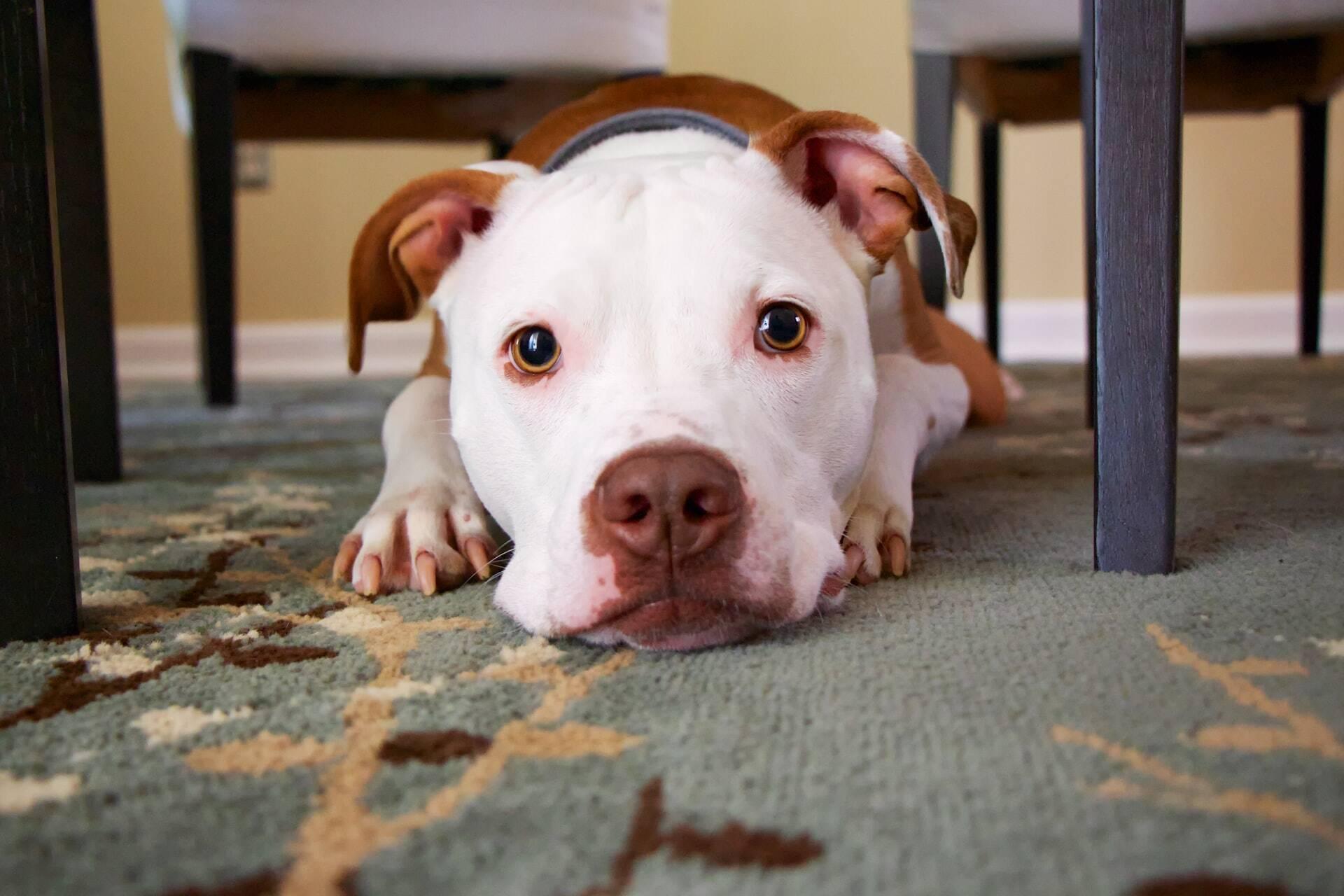 Cães sentem ciúmes quando os donos brincam com outros bichos? Veja o que a ciência já sabe a respeito