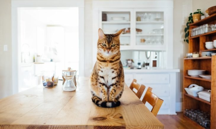 Saiba como fazer seu gato parar de pular na mesa da cozinha
