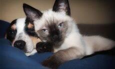 12 raças de gato perfeitas para quem ama cães