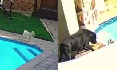 Vídeo: cãozinho cai em piscina e é salvo por cadela corajosa
